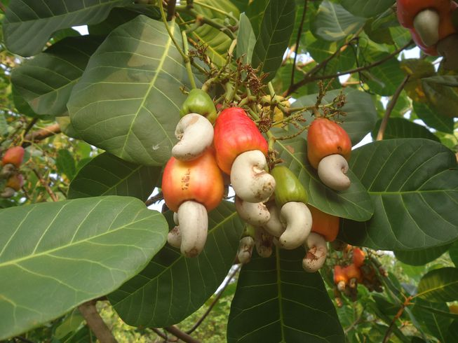 Cashew Tree Food Allergy Help - Nut Free, Information and Product Reviews